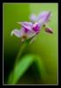 Orchidee, Rood bosvogeltje - Cephalanthera rubra