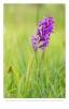 Brede orchis (Dactylorhiza majalis subsp. majalis)