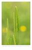 Kamgras (Cynosurus cristatus)