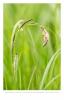 Zwarte zegge (Carex nigra)