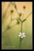 Fairy Flax