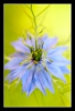 Love-in-a-mist, Ragged lady (Nigella damascena)