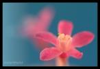Ribes, Ribes sanguineum