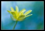 Speenkruid, Ranunculus ficaria