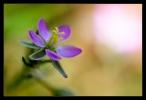 Spurrie, Spergula arvensis