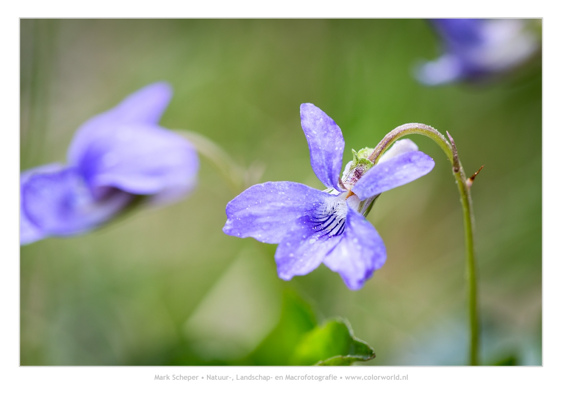Bleeksporig bosviooltje (Viola riviniana)