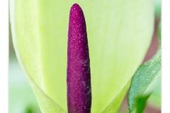 Gevlekte aronskelk (Arum maculatum)