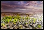 Wadden - Zeekraal (Salicornia)