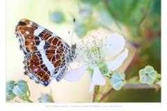 Landkaartje (Araschnia levana)