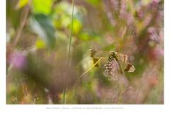 Bandheidelibel (Sympetrum pedemontanum)