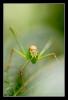 Sabelsprinkhaan (Tettigonia viridissima)