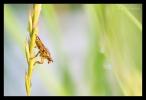 Strontvlieg (Scathophaga stercoraria)