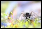 Wolfspin, Lycosidae