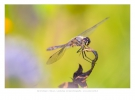 Zwarte heidelibel (Sympetrum danae)