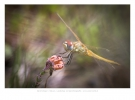 Red-veined darter (Nomad)