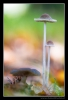 Common Bonnet (Mycena galericulata)