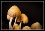 Gewone glimmerinktzwam (Coprinellus truncorum)