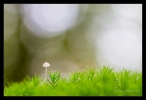 milk-drop Mycena